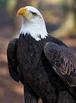 Jill Lang - American Bald Eagle