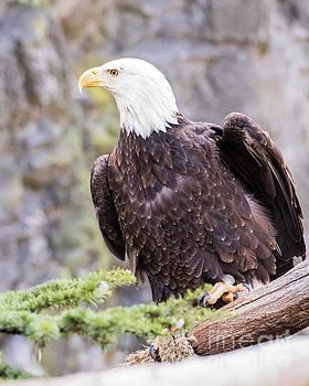 American Bald Eagle by Steven Natanson