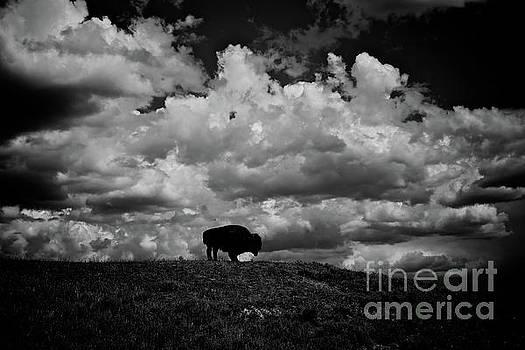 American Bison  by Steve Boice