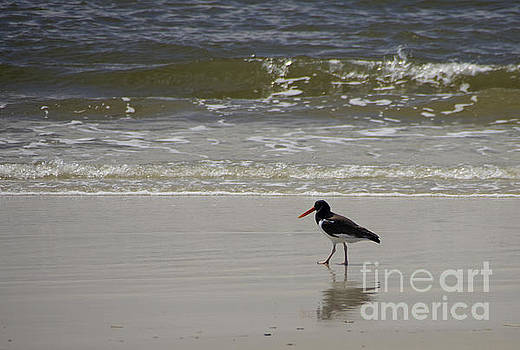 American Oystercatcher No.1 by Scott Evers
