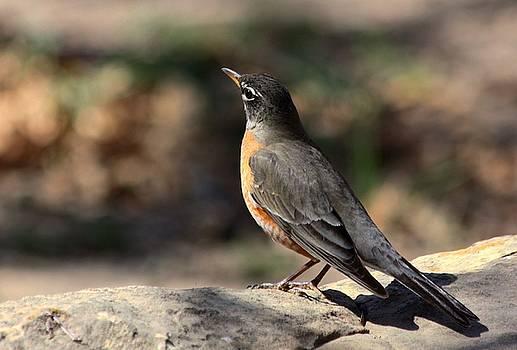 American Robin on Rock by Sheila Brown