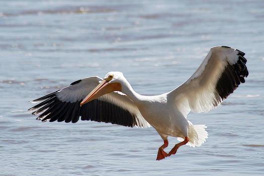 American White Pelican by Corey Haynes