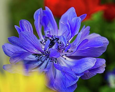 Anemone Blue by Nancy Kirkpatrick