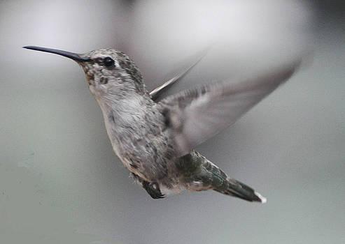 Anna's  Hummingbird In Flight by Jay Milo