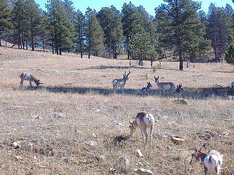 Antelope by Hazel Rice
