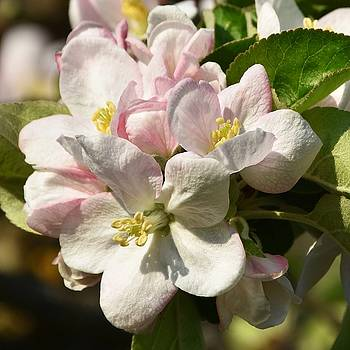 Apple tree blossoms by Werner Lehmann