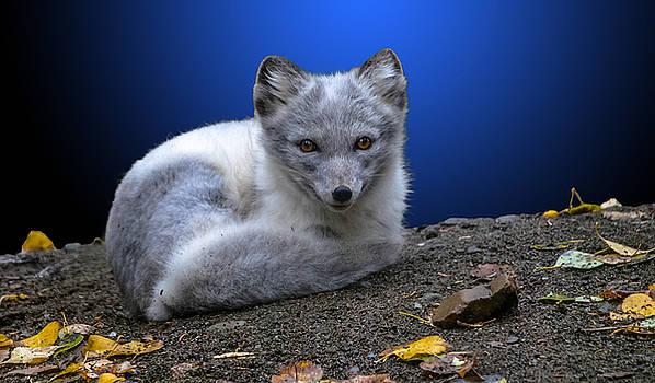 Artic Fox by Brian Stevens