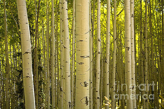 aspen Stand by Timothy Johnson