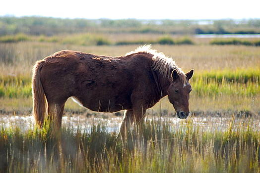 Assateague Island Wild Pony by Lori Hamilton