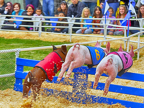 At the Pig Races by AJ Schibig