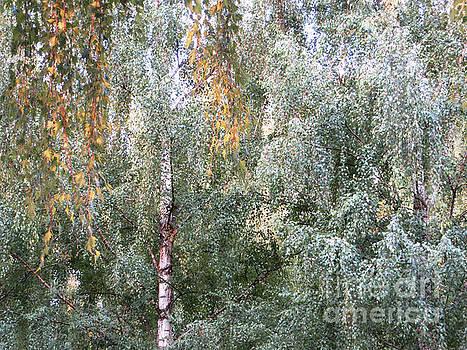 Autumn Birches by Adrian March