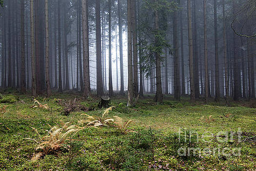 Autumn fog in the spruce forest by Michal Boubin