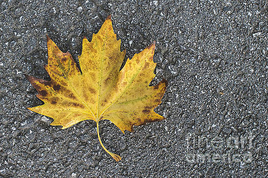 Autumn leaf on sidewalk.  by Deyan Georgiev