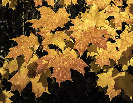 Autumn Leaves by Ray Summers Photography