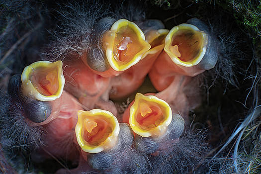 Baby birds open mouths by William Freebilly photography