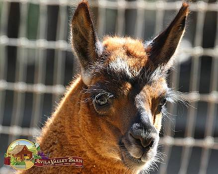 Gary Canant - Baby Llama