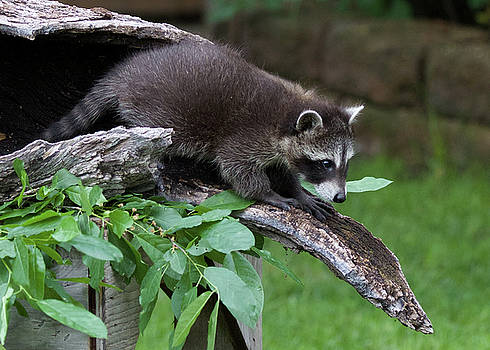 Baby Raccoon by Dee Carpenter