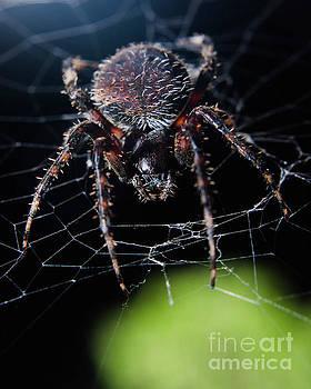 Backyard Buddy Spider Photograph by Melissa Fague
