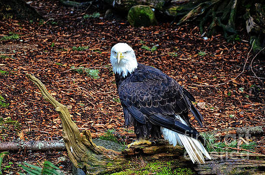 Bald Eagle  by Frank Larkin
