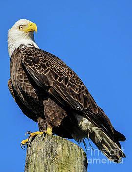 Bald Eagle by John Greco