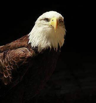 Bald Eagle by Linda C Johnson