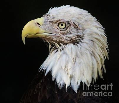 Paulette Thomas - Bald Eagle