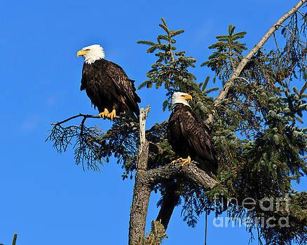 Bald eagle by Tim Hauf
