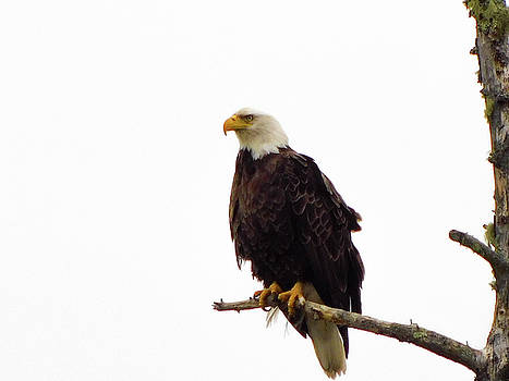 Bald Eagle  by Trace Kittrell
