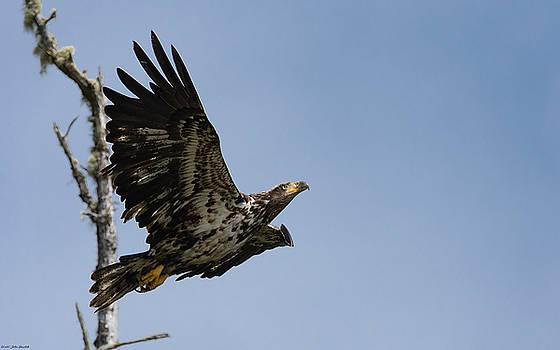 Bald Eaglet by John Pavolich