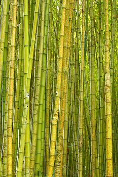 Gaspar Avila - Bamboo forest
