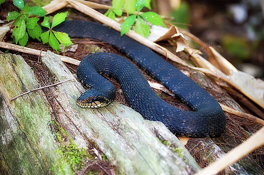 Banded Watersnake by Rich Leighton
