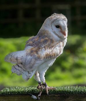 Dee Carpenter - Barn Owl