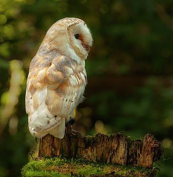 Barn Owl by Suesy Fulton