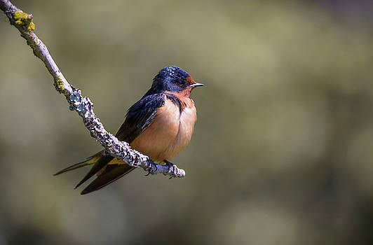 Barn Swallow by Kathy King