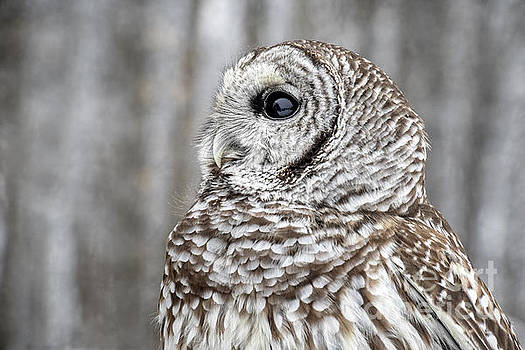 Barred Owl by Angie Rea
