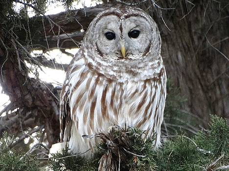 Barred Owl Beauty by Rebecca Overton