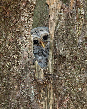 Barred Owl Nestling by Christopher Ciccone