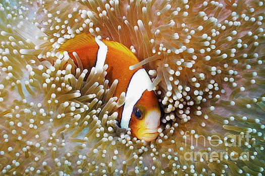 Barrier Reef Anemonefish in Mertens Carpet Sea Anemone  by Carl Chapman