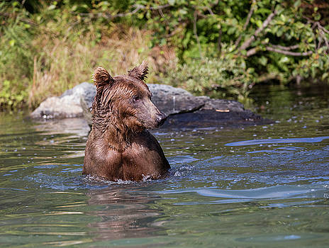 Gloria Anderson - Bear in the water