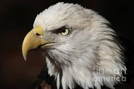 Paulette Thomas - Beautiful Bald Eagle