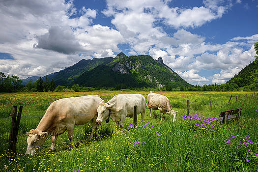 Beautiful landscape in the Alps with cows grazing in green meadows, typical countryside and farm between mountains. by Marek Kijevsky