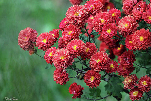 Beautiful Red Mums by Trina Ansel