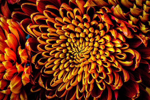 Beautiful Spider Mum by Garry Gay