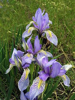 Beautiful Wild Iris by Carol Milisen