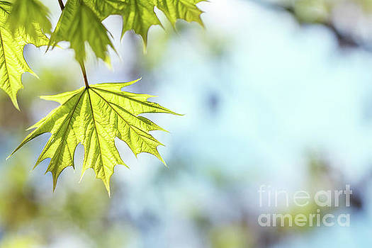 Beautiful young maple leaves on blue sky by Victoria Kondysenko