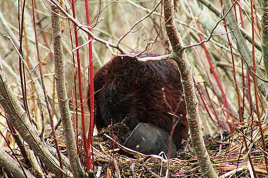 Beaver in the Alders 3 by Bethany Benike