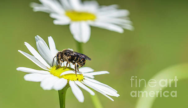 Compuinfoto - bee on Chrysanthemum leucanthemum