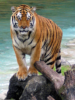 Bengal Tiger by Digartz - Thom Williams