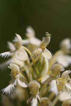 Bicolor hybrid fringed wild orchid by David Hand