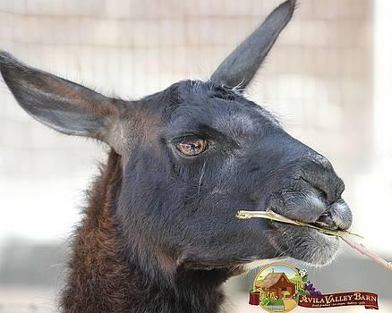 Gary Canant - Big Llama